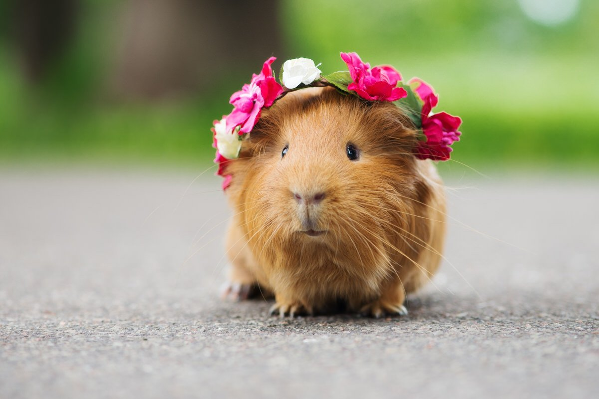 Chicago Apartments, Best Apartment Pets, Guinea Pigs