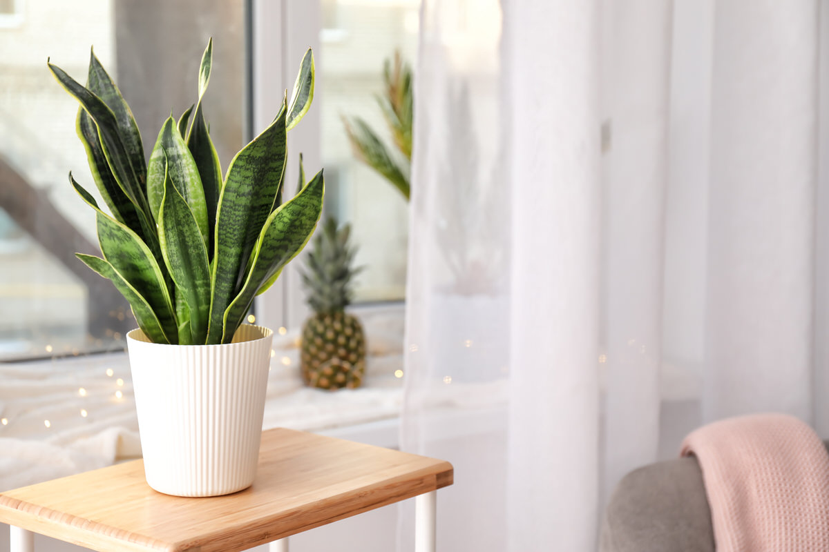 What You Should Know About Caring For Snake Plants